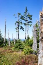 20leté výročí blokády kácení Trojmezenského pralesa, Šumava 2019. Smrčina.